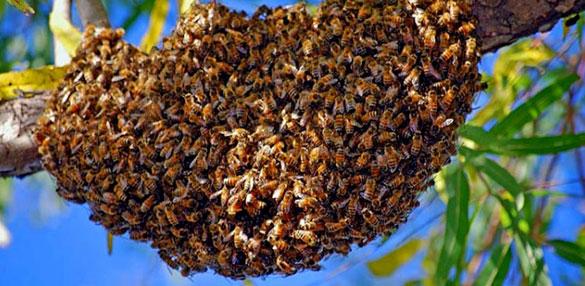 comment r agir devant un essaim d abeilles choisy le roi. Black Bedroom Furniture Sets. Home Design Ideas